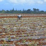 Pineapples are planted by hand here