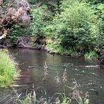 Salmon in the creek