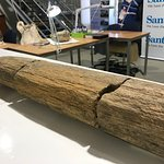 Petrified wood - fossilised soft wood palms / ferns