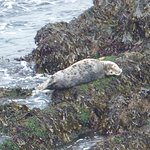 Grey seal youngster hauled up onto the rocks below Inner Head