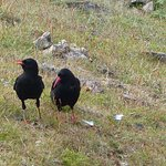 A pair of choughs feeding in the short grass near the lookout station.