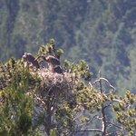 Blue Heron's nest