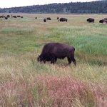 Bison everywhere.