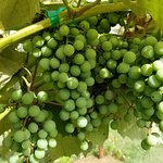 Grapes from Dale Hollow Vineyards.