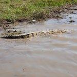 Local crocodile.