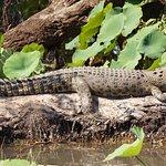 Female Estuarine Crocodile