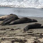 Photo of Elephant Seal Rookery