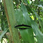 Malaysia's National Butterfly