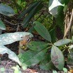 Chipmunk eating berry/seed under rhodadendrun bush.