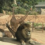 lion, giraffes in the background