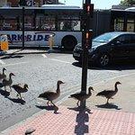 Local ducks using the crossing near the Shambles.