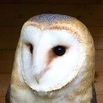 Luna - Barn Owl