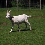 MA - DARTMOUTH - ALDERBROOK FARM – GOAT