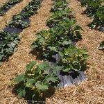 MA - DARTMOUTH - ALDERBROOK FARM – CROPS