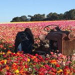 The Flower Fields at Carlsbad Ranch®の写真