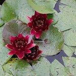 Water lilies in West Garden