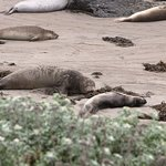 Elephant Seals at the Elephant Seal Rookery and 'Friends of the Elephant Seals'.
