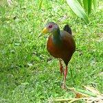 Gray Cowled Wood Rail, Monteverde Wild Hikes Bird Watching