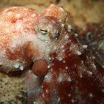Una splendida polpessa (Octopus Macropus)
