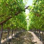 Vineyards of Constantia