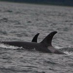 8/6/18 Whale Watching Trip - Orcas