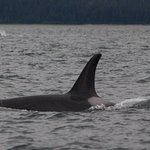 8/6/18 Whale Watching Trip - Orca