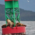 8/6/18 Whale Watching Trip - Sea Lions on the buoy