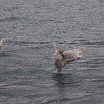 8/6/18 Whale Watching Trip - Diving bird