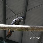 Black Cockatoo at Bird World