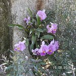 Flowering Orchid at Maleny Botanic Gardens