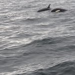 2 orcas that we saw on the trip