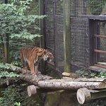 Sumatran Tiger at the Edinburgh Zoo.