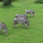 Zebras at the Edinburgh Zoo.