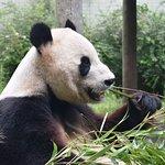 Panda at the Edinburgh Zoo.