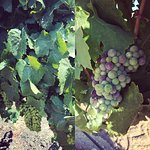 Harvest 2018 awaits for chardonnay and pinot noir