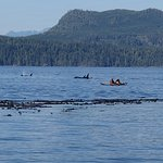 Killer whales and kayakers, off Vancouver Island shore