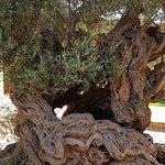 Ancient olive trer