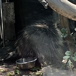 Porcupine , never moved