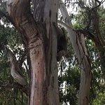 Koala climbing down the tree