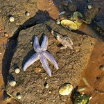 Star fish found at low tide