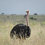 I didn't realize there were so many ostriches in Africa.