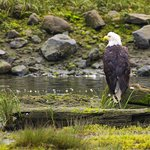 This is a wild baldie He is checking out the stream that runs through the Preserve