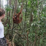 One orangutan in the jungle