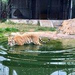Garfield, a golden tabby tiger, going for a swim