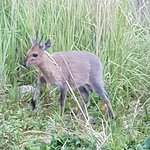 Cute deer (common duiker) visited our camp that evening.