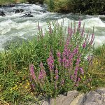 Wildflowers on the Rogue River