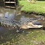 Alligator on the island