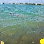 manatee in Islamorada, Florida Keys