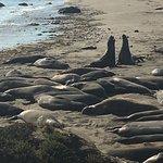 Elephant seals at Piedras Blancas.
