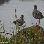 Fåglar i strandkanaten